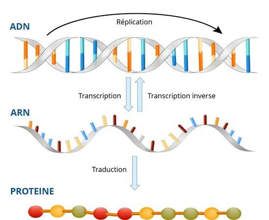 La polymérase est un processus qui permet de répliquer l'ADN.
